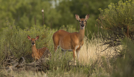 Deer Fawn and Doe